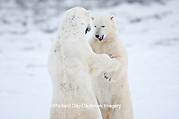 01874-11815 Polar Bears (Ursus maritimus) sparring / fighting in snow, Churchill Wildlife Management Area, Churchill, MB Canada