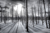 DEAD TREES ARE SILHOUETTED AGAINST THE MORNING SUN AT YELLOWSTONE NATIONAL PARK,WYOMING