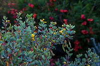 Senna oligophylla, Outback Cassia; South Coast Research and Extension Center; University of California ANR