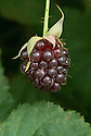 Nectarberry, late July. An allegedly improved, sweeter form of boysenberry, produced primarily in the Pacific Northwest of the United States.