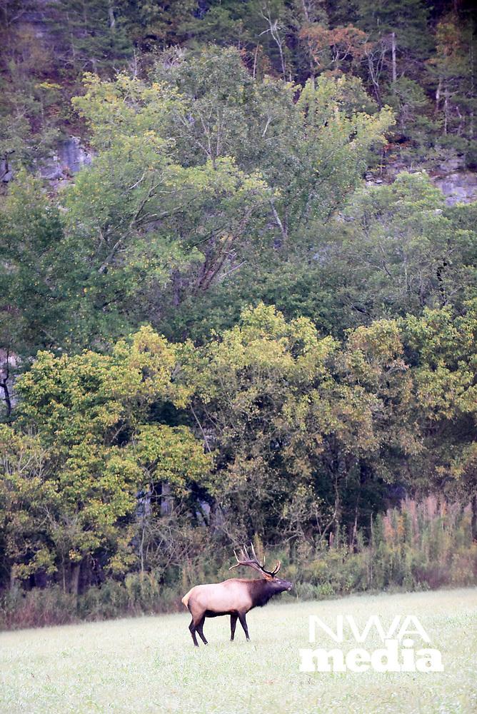 NWA Democrat-Gazette/FLIP PUTTHOFF<br />A bull elk stands Sept. 29 2017 among forest foliage.
