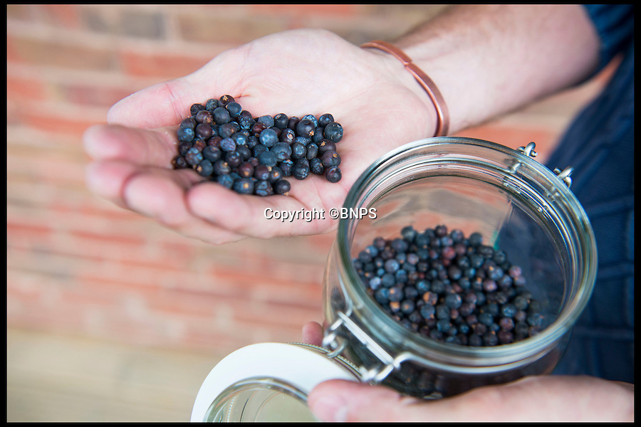 BNPS.co.uk (01202 558833)<br /> Pic: LauraDale/BNPS<br /> <br /> Juniper berries, an ingredient used to distill Batch 38 of Conker Spirit gin.<br /> <br /> A canny entrepreneur has launched Britain's smallest commercial gin distillery - after setting it up in the confines of his own kitchen.<br /> <br /> Rupert Holloway packed in his high-flying job as a chartered surveyor to start producing the trendy spirit one bottle at a time at his home in Christchurch, Dorset.<br /> <br /> His miniature distillery is the first ever to open in the county - and his unique recipe uses botanicals found in the hedgerows, forests and coastline of the county.<br /> <br /> He experimented with 37 recipes before settling on one made with gorse flowers and elderberriers hand-picked from the New Forest, and samphire, a sea vegetable, from the sea shore.<br /> <br /> The gin, called Conker Spirit, will be launched in time for Christmas and it is expected to sell for &pound;30 a bottle.