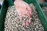 naissaims d'huitres issus du captage naturel qui seront revendus aux ostréiculteurs