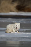 Arctic fox (Alopex lagopus) pausing on the ice