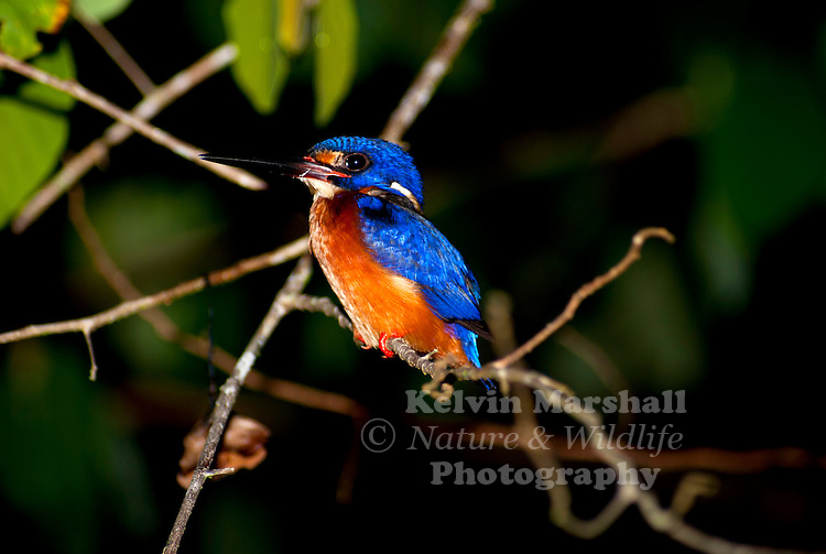 Blue-eared kingfisher, (Alcedo meninting), also known as the blue-cheeked kingfisher, deep-blue kingfisher, Ceylon blue-eared kingfisher or the Malaysian kingfisher.