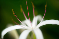 Close up of Spider Lily (Crinum asiaticum. Kauai, Hawaii