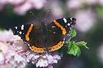 2555-HK(CF) Red Admiral, Vanessa atalanta, feeding on flowers of Flowering Almond, Prunus triloba, in Minnesota