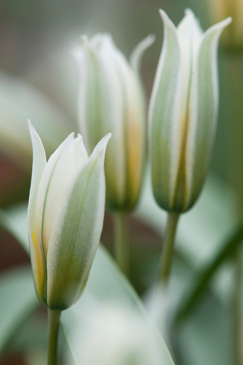Tulipa sogdiana, glasshouse, early March.
