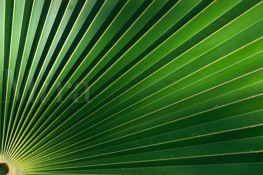 Silver Thatch Palm Leaf in Cayman Bra