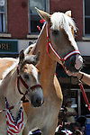"Independence Day Parade contingent from Mayone Farm in Glasco, included a young colt, named ""Barney,"" accompanied by his mother, ""Mindy"" as the two waited during a pause in the parade, at the intersection of Main Street and Partition Street, in Saugerties, NY on Thursday, July 4, 2013. Photo by Jim Peppler. Copyright Jim Peppler 2013 all rights reserved."
