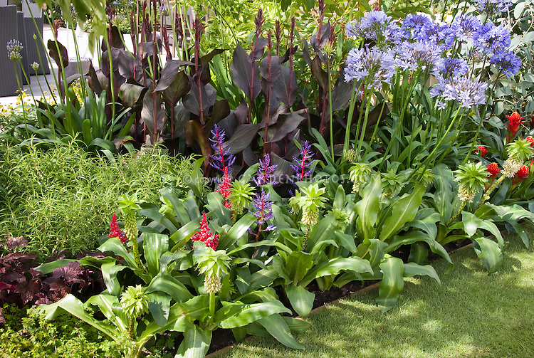 Eucomis bicolor with tropical flowers with Agapanthus and purple leaf foliage Canna in tropical planting border