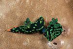 Nudibranchs mating (Nembrotha kubaryana), also known as the variable neon slug. North Raja Ampat, West Papua, Indonesia