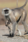 Gray langur and baby (Semnopithecus entellus), Jawai, Rajasthan, India