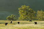 Grazing angus cattle, oaks, spring in the Sierra Nevada Foothills of California, Tulare County.