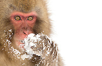 Snow Monkey (Macaca fuscata), Nagano, Japan, February 2015