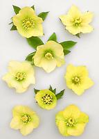 Yellow flowers stock photos images plant flower stock helleborus x hybridus single yellow yellow hybrid hellebores similar to the mardi gras yellow mightylinksfo