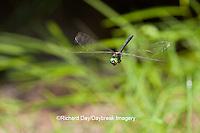 06548-002.08 Mocha Emerald (Somatochlora linearis) male in flight along stream, Clay Co, IL