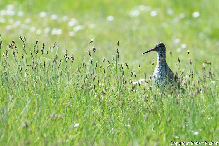 Redshank, Tringa totanus, Elmley Marshes, Kent UK, Elmley Nature Reserve, in long grass, backlight