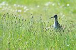 Redshank, Tringa totanus, Elmley Marshes, Kent UK, Elmley Nature Reserve, in long grass, backlight