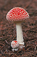 Fly Agaric (Amanita muscaria), fruit, Switzerland