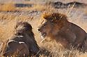 Botswana, Okavango Delta, Moremi; male lions fighting over female