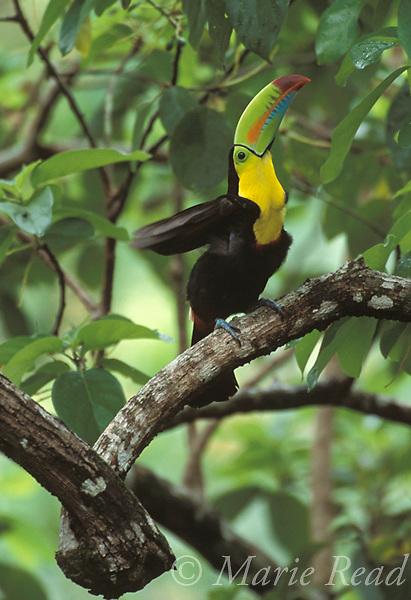 Keel-billed Toucan (Ramphastos sulfuratus) stretching its wings, Gamboa, Panama.<br /> B95-118