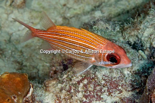 Sargocentron bullisi, Deepwater squirrelfish, Florida Keys