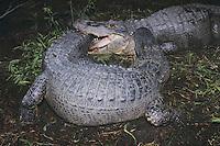 American Alligator (Alligator mississipiensis), adults fighting, Myrtle Beach, South Carolina, USA