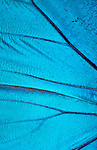 Butterfly Wing Scales, close up, macro, Morpho Nestira, Blue, photographic technique....