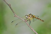 338600006 a wild female thornbush dasher dragonfly micrathyria hagenii perches on a dead twig bentsen rio grande valley state park texas