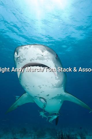 Tiger Shark, Galeocerdo cuvier, Tiger Beach, Bahamas, Western Atlantic.