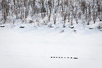 Jeff King runs down the Yukon River between Grayling and Eagle Island during Iditarod 2009