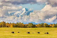 Large bales of hay in an agriculture field, Mount Moffit of the Alaska rang in the distance, Delta Junction, Alaska.