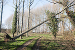 Fallen tree in poplar plantation following winter storm at Methersgate, Suffolk, England