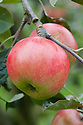 Apple 'Cutler Grieve', mid September. A Scottish dessert apple bred by James Grieve in Edinburgh and first introduced in 1912.