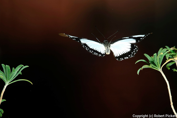 Mocker Swallowtail Butterfly, Papilio dardanus, in flight, flying, high speed photographic technique, female, mimetic form of unpalatable danaidae butterfly.Africa....