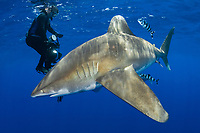 Oceanic Whitetip Shark, Carcharhinus longimanus, with pilot fish, Naucrates ductor, scuba diver in background, Cat Island, Bahamas, Caribbean, Atlantic Ocean