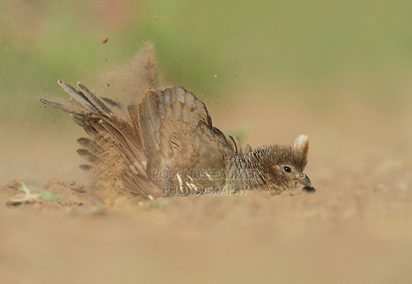 Scaled Quail (Callipepla squamata), female dust bathing,  Laredo, Webb County, South Texas, USA