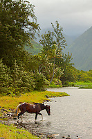 A single wild horse crosses a river that gently flows to the ocean in Waipi'o Valley, Big Island.