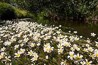 Bach mit Flutender Wasser-Hahnenfuß, Flutender Hahnenfuß, Wasserhahnenfuß, Wasserhahnenfuss, Ranunculus fluitans. Brook, rivulet, stream