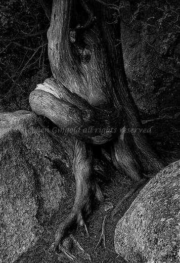 Misshapen cedar tree at Acadia National Park.