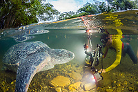photographer and leatherback sea turtle, Dermochelys coriacea, female, after nesting, disoriented and entered into a nearby river by mistake, returned to the ocean after all, at sunrise, Grand Riviere, Trinidad, Trinidad and Tobago, Caribbean Sea, Atlantic Ocean