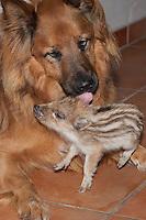 """Wildschwein, verwaistes, pflegebedürftiges, in Menschenhand gepflegtes, zahmes Jungtier spielt mit Hund, Hund leckt den Frischling sauber, Freundschaft zwischen Hund """"Laska"""" und Wildtier, Wild-Schwein, leben gemeinsam im Haus, Schwarzwild, Schwarz-Wild, Frischling, Junges, Jungtier, Tierkind, Tierbaby, Tierbabies, Schwein, Sus scrofa, wild boar, pig"""