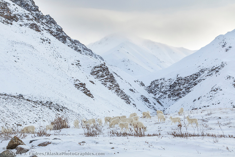 A flock of dall sheep forage for food on the snowy slopes of the Atigun Canyon of the Brooks Range mountains in Alaska's Arctic.