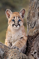 656326036 a captive mountain lion cub felis concolor sits in the notch of a tree staring out at its habitat in central montana