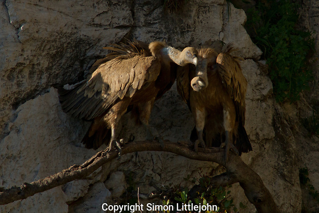 A pair of wild adult Eurasian Griffon Vultures sitting on tree branch close to nest site on side of rock face.