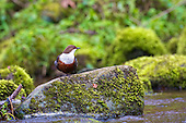 White-throated Dipper (Cinclus cinclus) perched on rocks, in the middle of preening itself. Dippers have a remarkable way to catch food in a niche area. They are able to dive under water readily at will and walk along the bottom in search of caddis fly larva and other food.