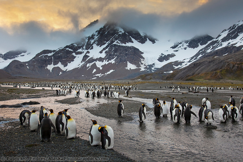 King penguins, Right Whale Bay, western South Georgia Island