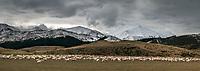 Winter sheep farming under Southern Alps, Canterbury, South Island, New Zealand, NZ
