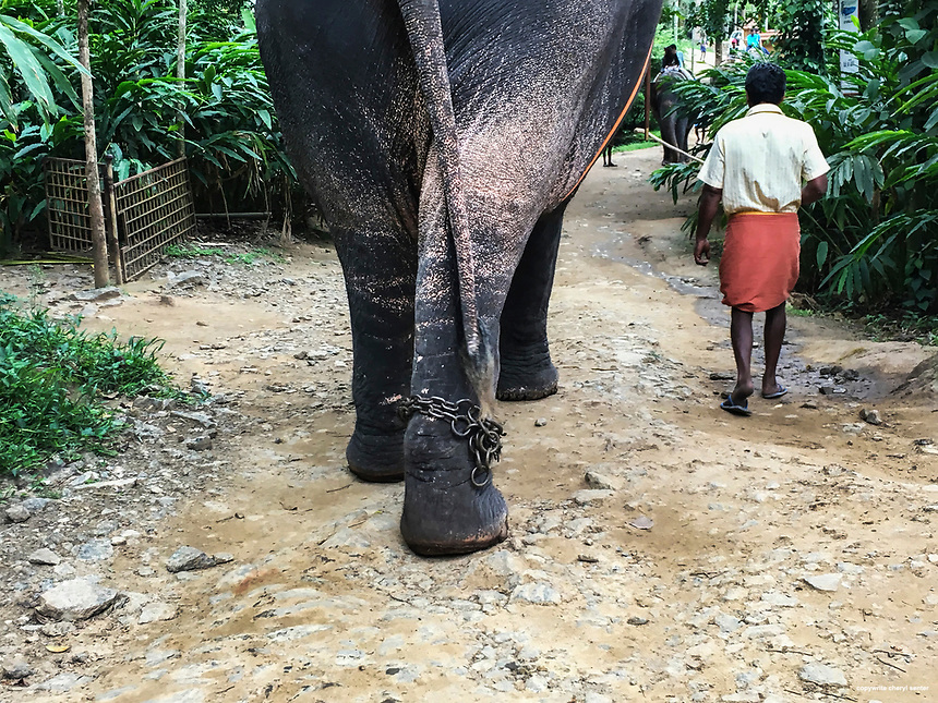 A trainer leads his elephant, visitor riding atop,  at Elephant Junction in Thekkady, Kerala, India,  June 09, 2017 (Cellphone Photo by Cheryl Senter)